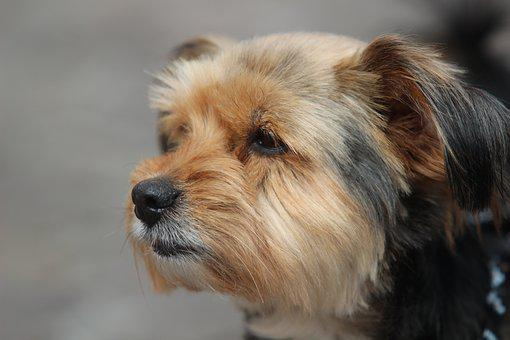 Yorkshire Terrier, Dog, Portrait, Pet