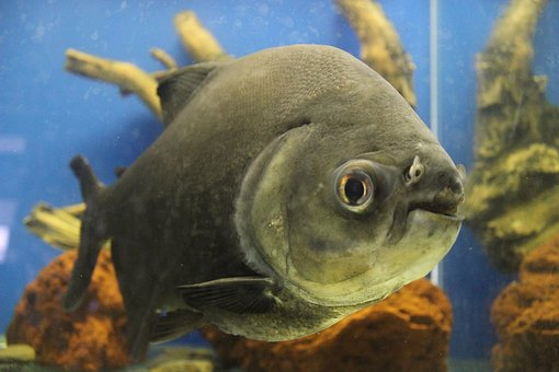 Piranha, Predatory Fish, Aquarium