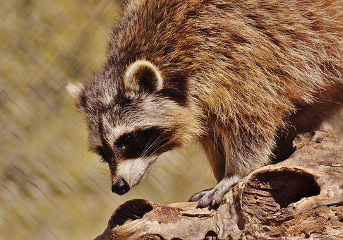Raccoon, Wild Animal, Furry, Mammal