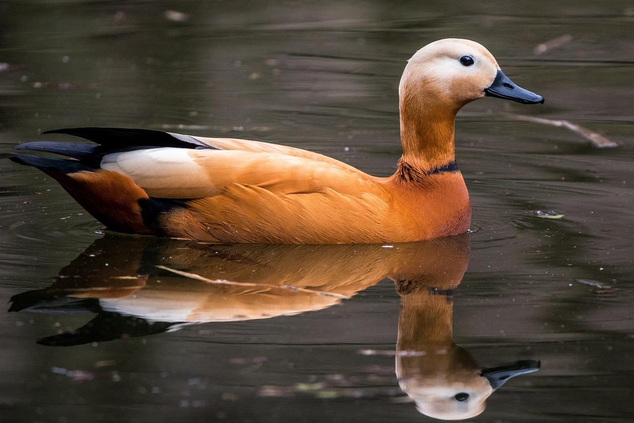 преподаватель картинки водоплавающих птиц с названиями любой яркий