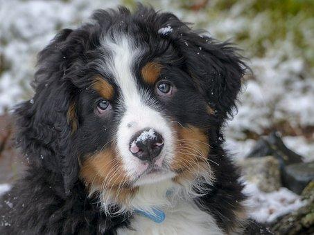 Hond, Puppy, Huisdier, Cute, Dierlijke