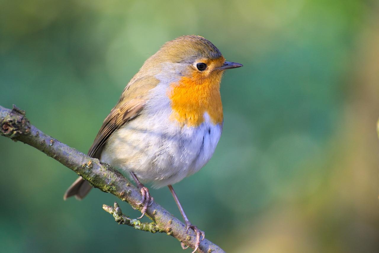 наше картинки птицы робина начнем