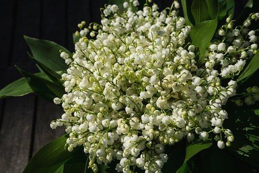 Muguet, Mai, Printemps, Toxiques, Fleur
