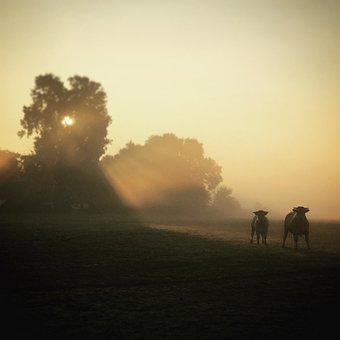Sunrise, Koeien, Ossen, Boom, Ochtend