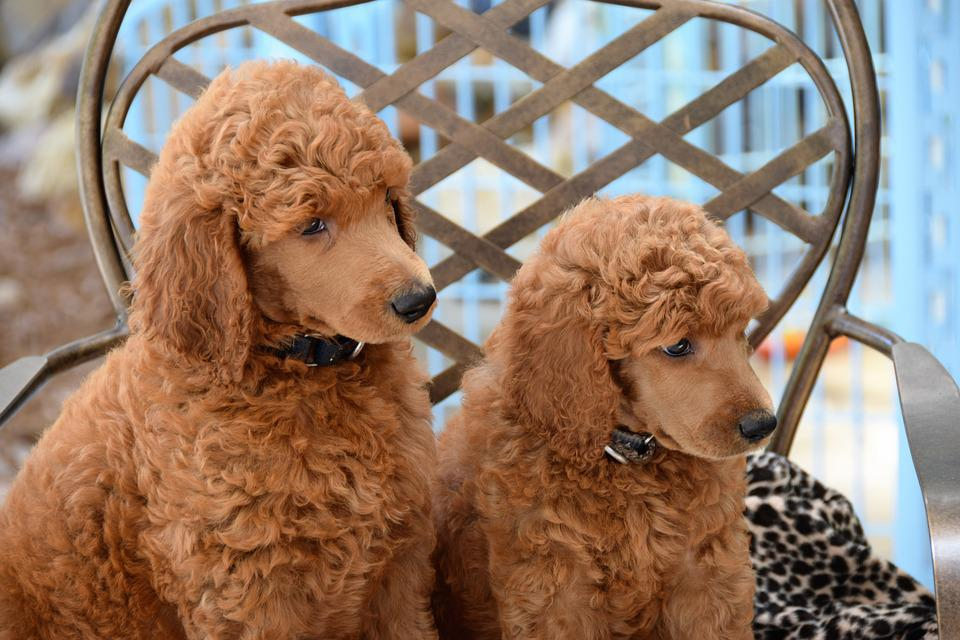 Cachorros, Caniches, Caniches Estándar, Perro, Mascota