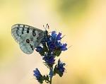 apollo, butterfly