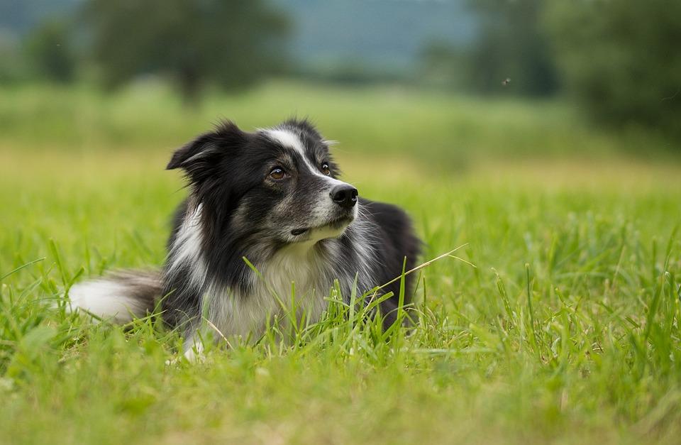 Free Illustration: Border Collie, Dog