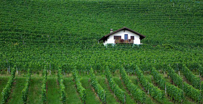 Green, Winyard, Swiss, Grapes, Wine