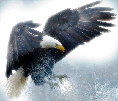 Bald Eagle, Bird, Predator, Raptor
