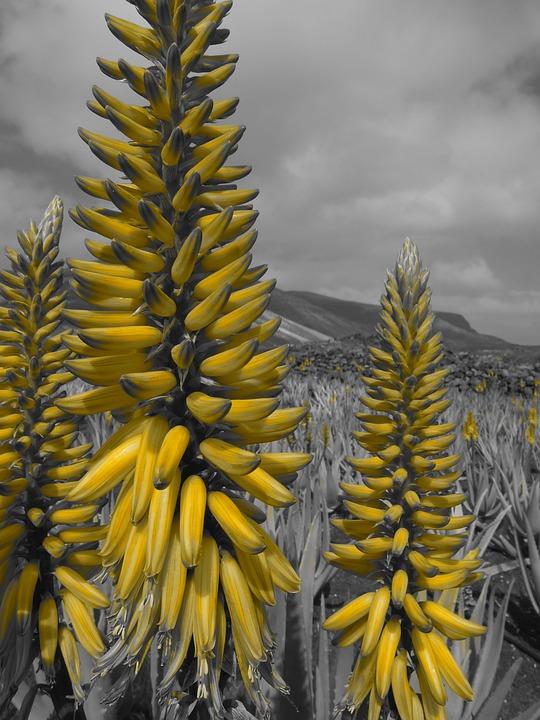 Aloe Vera Tanaman Lidah Buaya Tanaman Perawatan