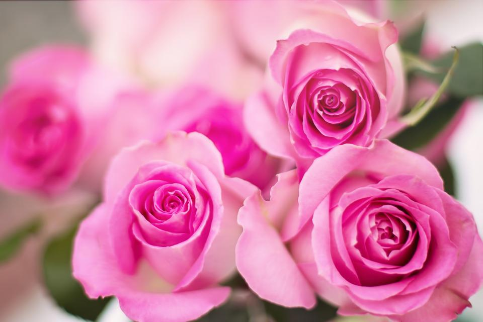 free photo pink roses roses flowers romance free