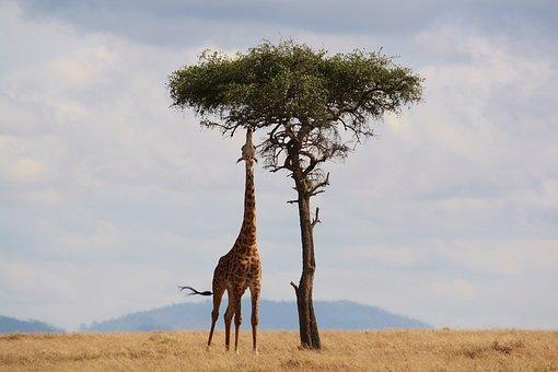 Giraffe, Kenya, Africa, Wildlife, Safari