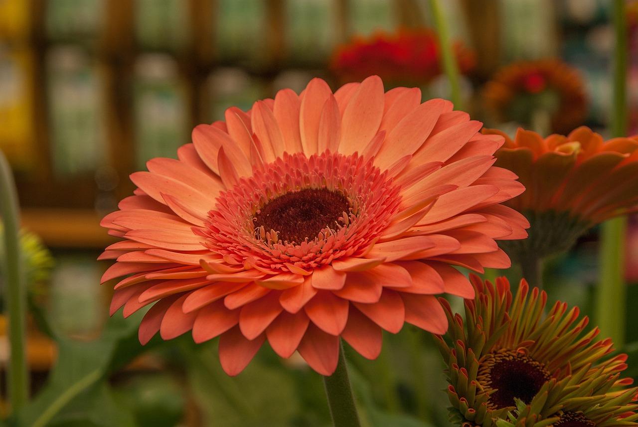 обычный фото цветка герберы сейчас находится больнице