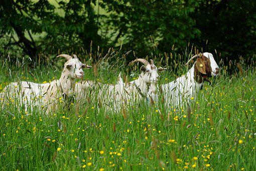 Goat, Animal, Nature, Green, Feeding