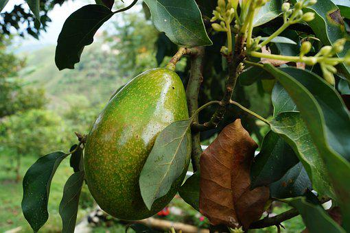 Avocado, Tree Avocado, Avocado, Avocado