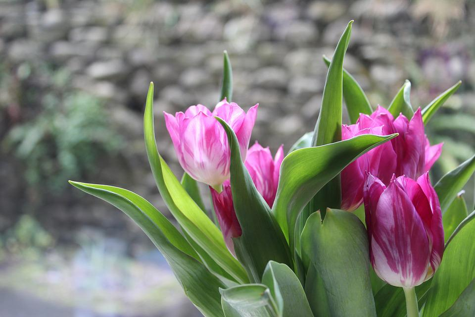 green purple free photo tulips flowers pink purple free image on pixabay