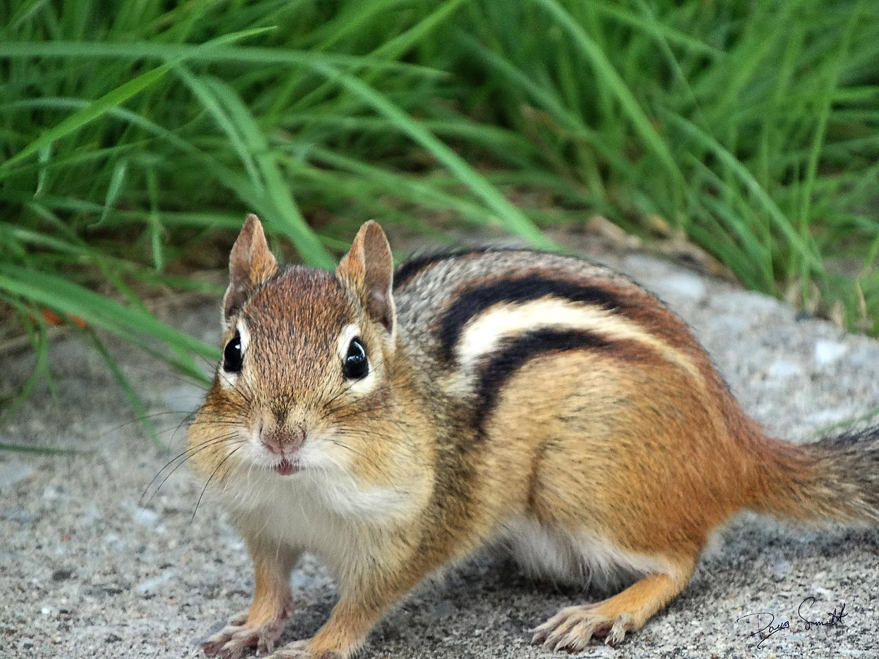 chipmunk staring at the camera