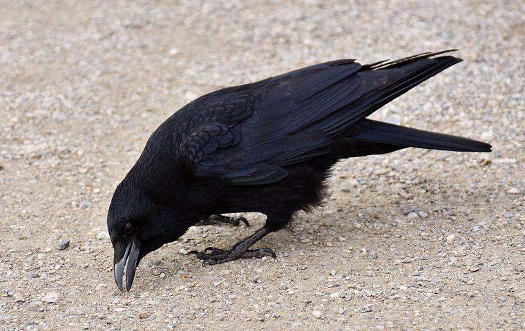 Открытки новогодняя, картинка ворона