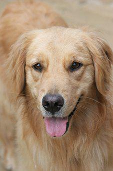 Dog, Happy, Golden, Pet, Cute, Canine