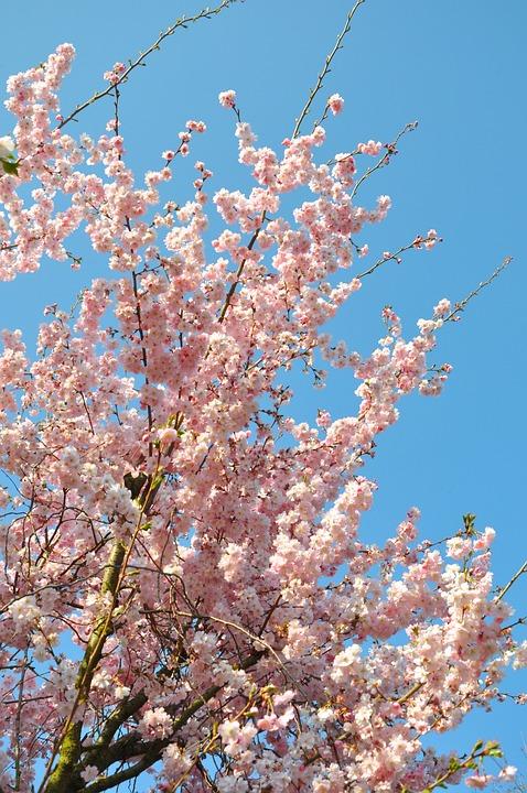 Almond Blossom Aesthetic Flowers Free Photo On Pixabay