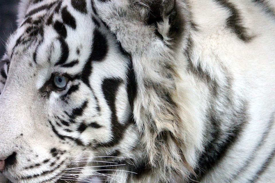 mladá indická mačička