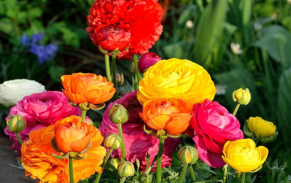 Ranunkeln Blumen Fruhjahr Kostenloses Foto Auf Pixabay