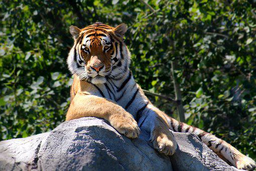 Tiger, Animal, Wildlife, Nature, Cat