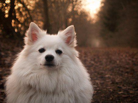 Spitz, German, Dog, Animal, Pet, White