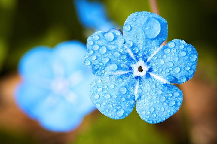 Blue Flower, Dew, Dewdrops