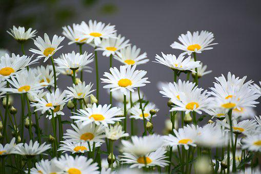 Chamomile, Flower, Nature, Plant
