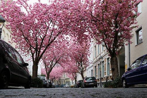 Cherry Blossom, Bonn, Pink, Spring