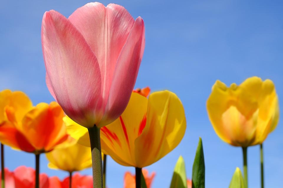 Tulip Flower Blossom Bloom Flowers Pink Spring