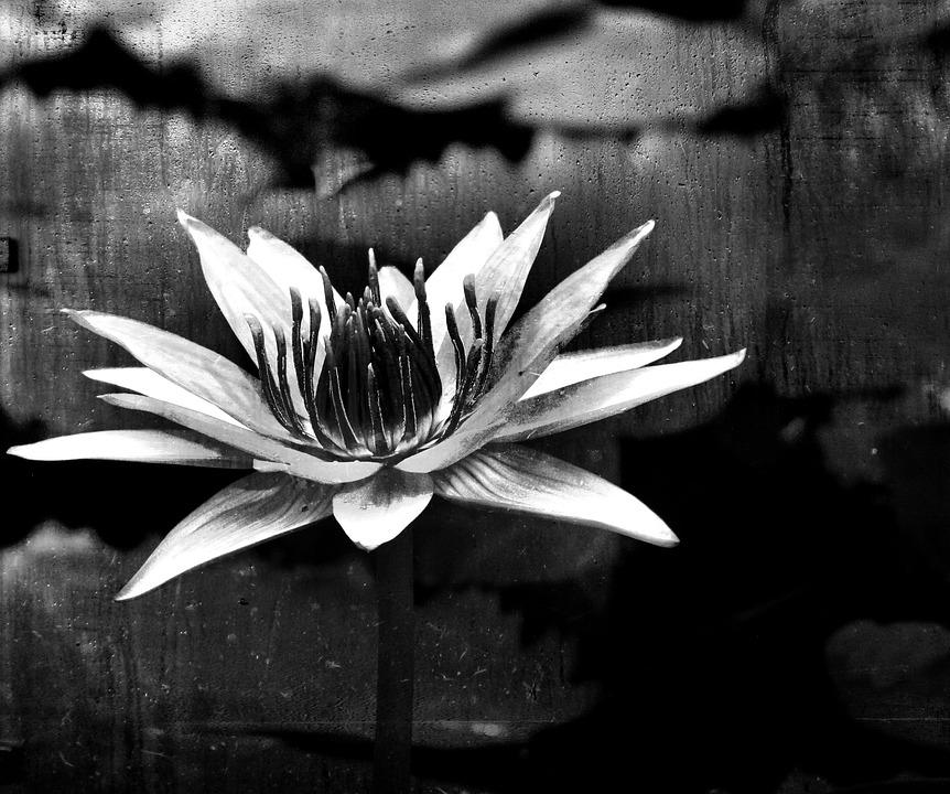 Black white water lily flower free photo on pixabay black white water lily flower nature pond mightylinksfo