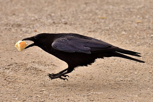 Common Raven, Raven, Raven Bird, Crow