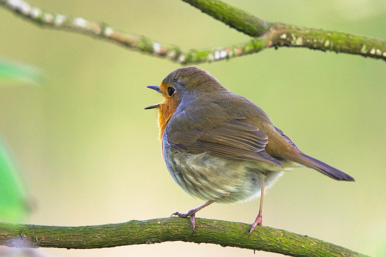 картинки птицы с пением птиц