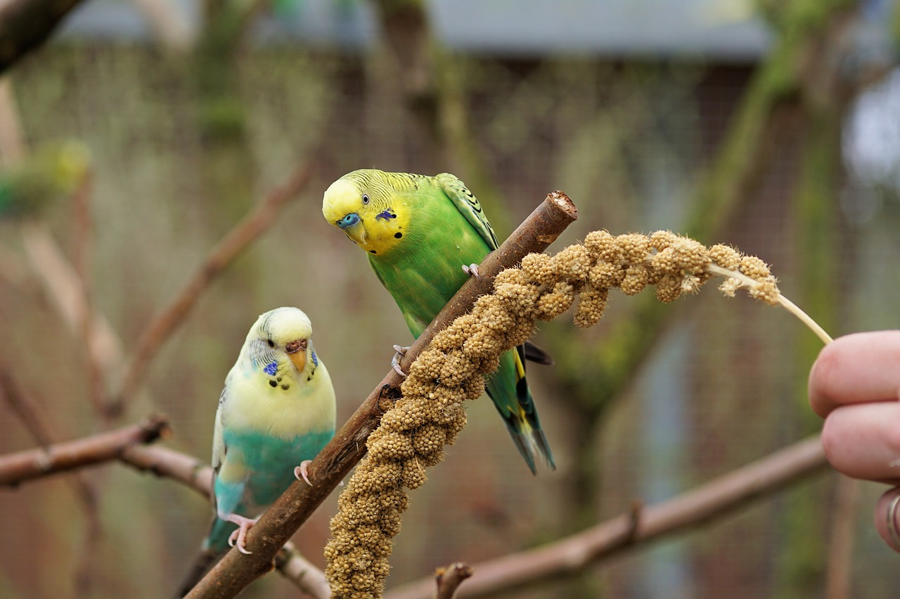 внешний волнистый попугайчик фото морде котов возникают