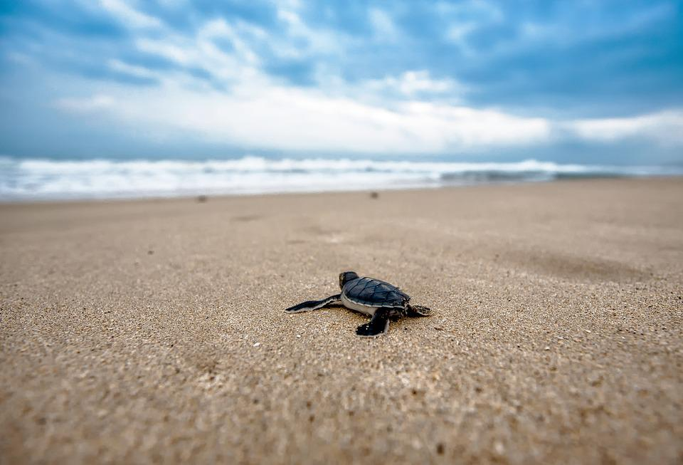 Turtle, Coast, Amphibian, Animal, Reptile