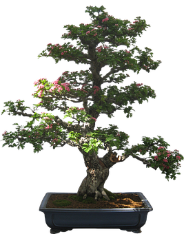 Bonsai, Tree, Plant, Potted Plant, Small
