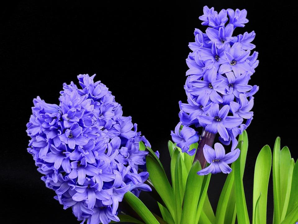 ヒヤシンス, 花, ブルーム, スプリング, 自然, 植物, 紫, バイオレット