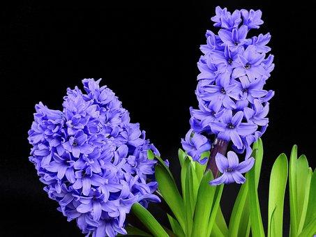 Гиацинт, Цветок, Цветение, Цветение, Цветение