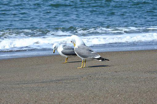 アニマル, 海, 波, 波打ち際, 浜辺, ビーチ, カモメ, シーガル, 海鳥