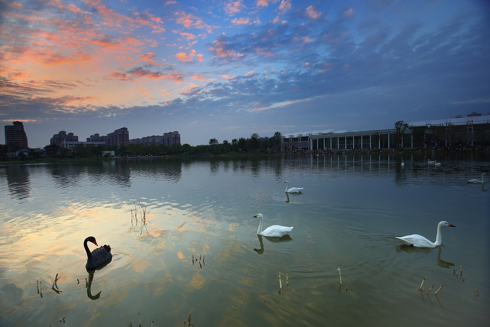 wuhan,china,swan,