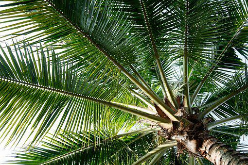 Coconut, Tree, Green, Tropical, Palm