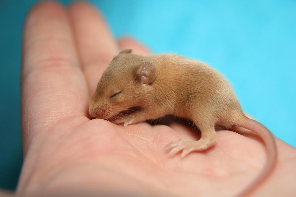 mouse color mouse hand baby cute tame small