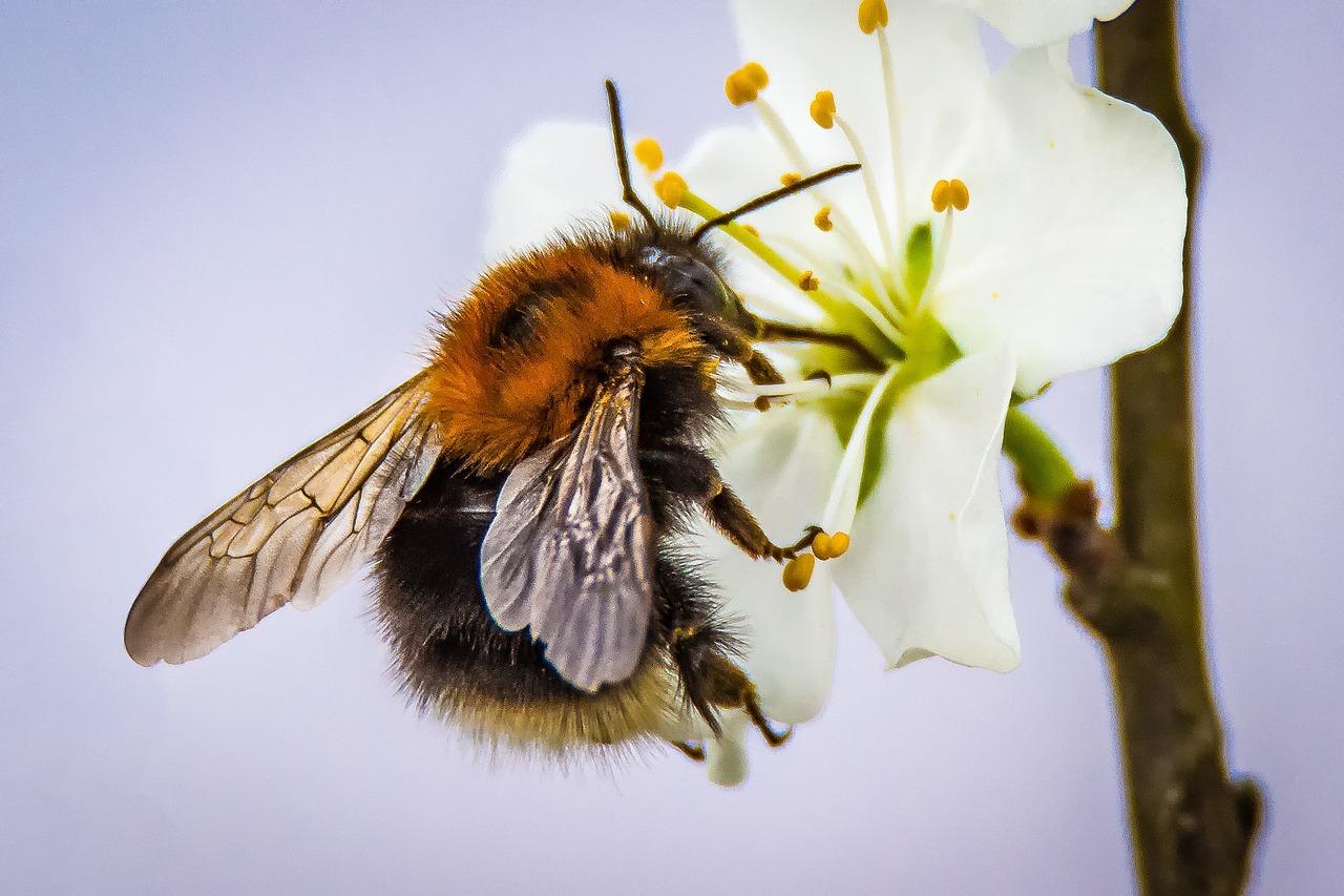 картинка как пчела опыляет цветок гори, покинувший