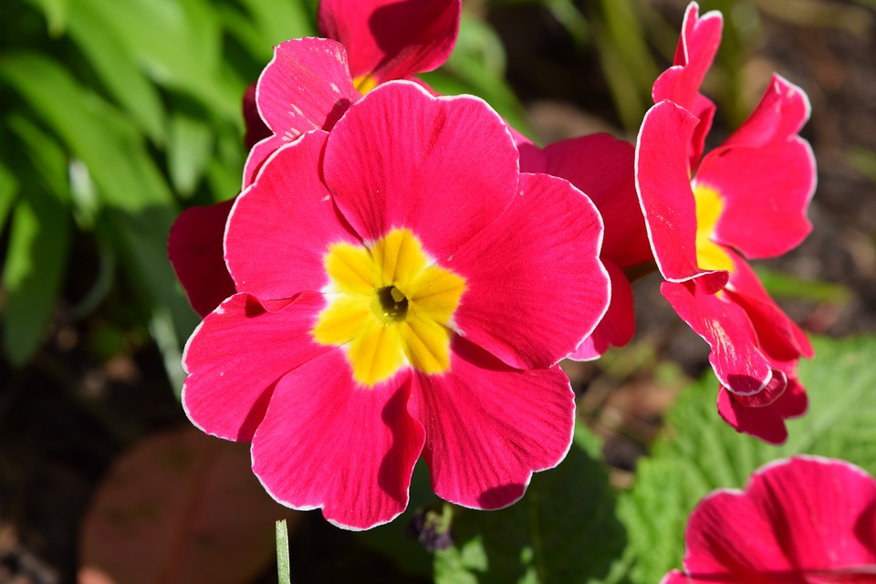 Pansy flower pink free photo on pixabay pansy flower pink blossom petal bloom spring mightylinksfo
