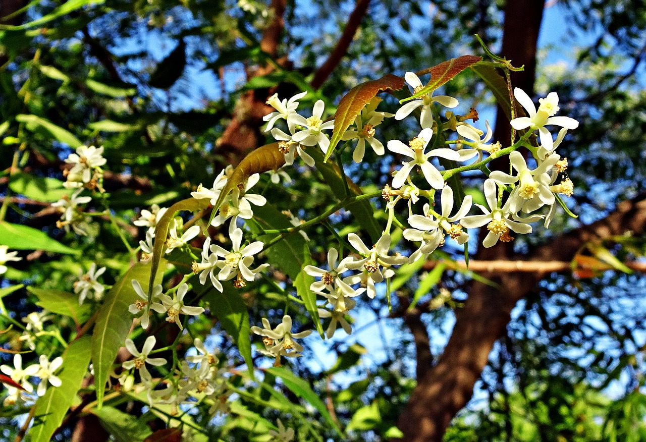 Pure Neem Oil For Plants - The 'Healthy' Pesticide Neem tree flowers photos
