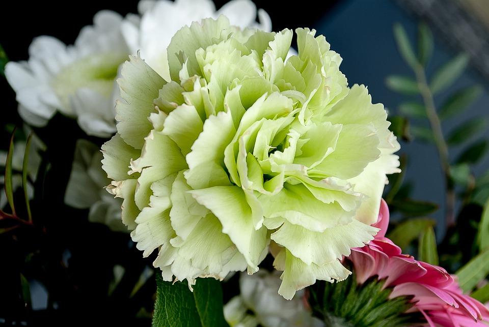 Blumen Nelke Blume Weiße · Kostenloses Foto auf Pixabay
