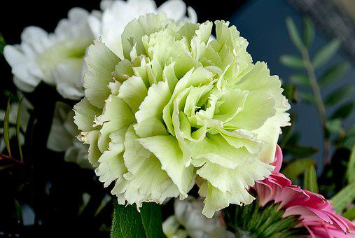 Carnation Flower Images Pixabay Download Free Pictures