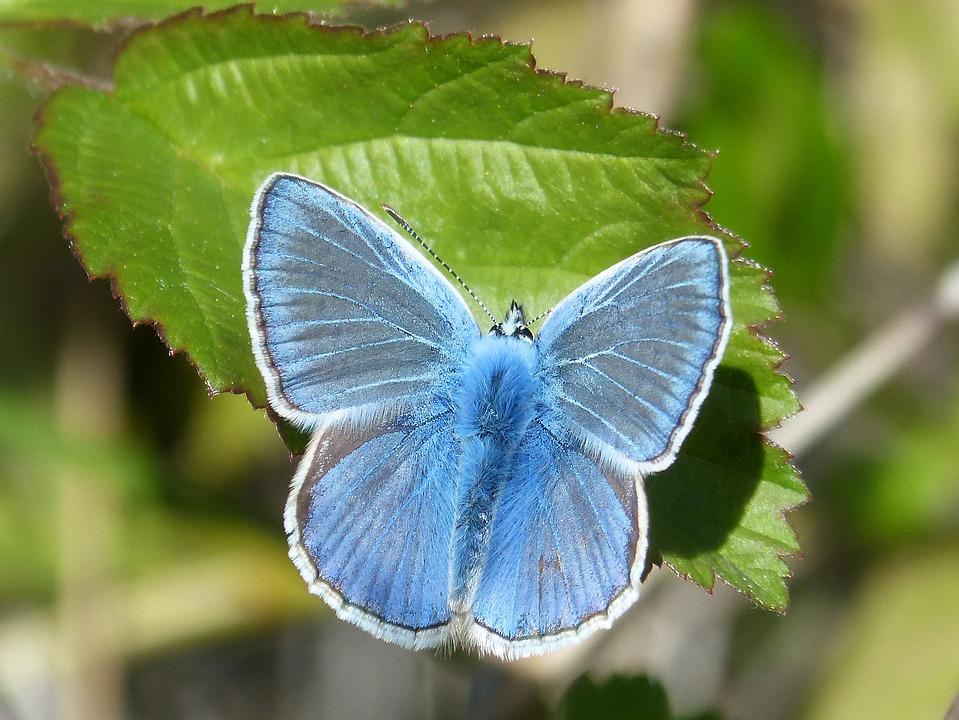 Butterfly Blue Blaveta 183 Free Photo On Pixabay
